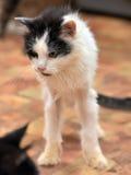Negro con el gato mullido fino blanco Fotografía de archivo