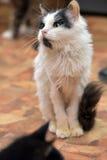 Negro con el gato mullido fino blanco Fotos de archivo libres de regalías