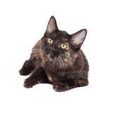 Negro curioso y Tan Domestic Longhair Kitten Laying Fotos de archivo