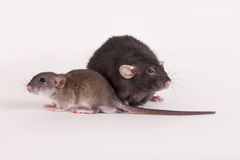 Negro de la rata y del adulto del bebé Fotografía de archivo libre de regalías