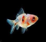 Negro de los pescados del oro en fondo Imagenes de archivo