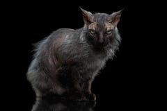Negro de Sphynx Cat Angry Looking del hombre lobo in camera imagenes de archivo