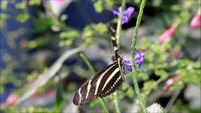 Negro del amarillo de la mariposa de la cebra almacen de metraje de vídeo