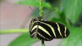 Negro del amarillo de la mariposa de la cebra almacen de video