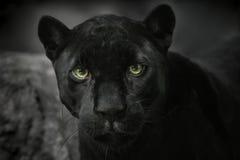 Negro del jaguar. Retrato Imagen de archivo libre de regalías