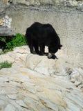 negro del oso Imagenes de archivo