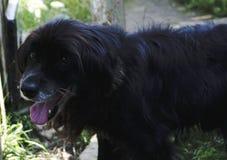 Negro del perro Fotografía de archivo