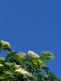 Negro do Sambucus de Elderflower imagens de stock
