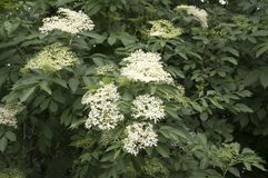 Negro do Sambucus na flor, lotes da flor branca pequena imagem de stock