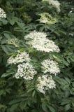 Negro do Sambucus na flor, lotes da flor branca pequena fotos de stock