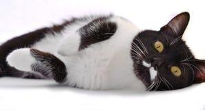 Negro juguetón - gato blanco con los ojos amarillos Fotos de archivo libres de regalías