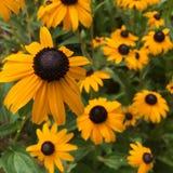 Negro-Observar-Susan floreciente florece (el hirta del Rudbeckia) imagen de archivo libre de regalías