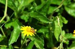 Negro y amarillo abeja-como la mosca que chupa el néctar de un wildflower amarillo hermoso en Tailandia Imagenes de archivo