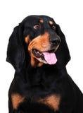 Negro y Coonhound de Tan Fotos de archivo