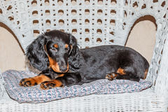 Negro y moreno de pelo largo estándar - perrito del perro basset Imágenes de archivo libres de regalías
