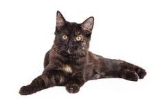 Negro y Tan Domestic Longhair Kitten Laying Imagen de archivo libre de regalías