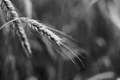 Negro y wight del oído del trigo Foto de archivo libre de regalías