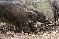 Negros Warty Pig - Sus cebifrons negrinus Stock Photos