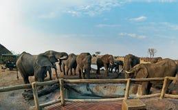 Nehimba obóz w Hwange parku narodowym, 2016 Słonie często odwiedzają obóz pić świeżą wodę od pływackiego basenu Zdjęcie Royalty Free