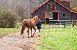 Nehmen eines Pferds zum Stall Stockbild