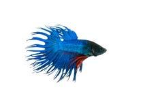 nehmen Sie den beweglichen Moment gefangen, der von blauem Halbmond Siams betta schön ist Lizenzfreie Stockfotos