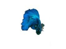 nehmen Sie den beweglichen Moment gefangen, der von blauem Halbmond Siams betta schön ist Stockbild