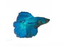 nehmen Sie den beweglichen Moment gefangen, der von blauem Halbmond Siams betta schön ist Lizenzfreie Stockfotografie