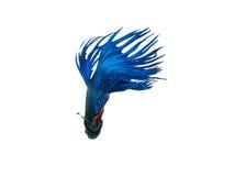 nehmen Sie den beweglichen Moment gefangen, der von blauem Halbmond Siams betta schön ist Lizenzfreies Stockfoto