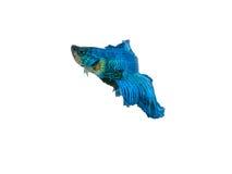nehmen Sie den beweglichen Moment gefangen, der von blauem Halbmond Siams betta schön ist Lizenzfreies Stockbild