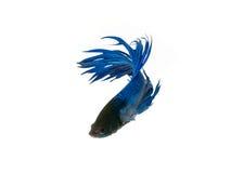 nehmen Sie den beweglichen Moment gefangen, der von blauem Halbmond Siams betta schön ist Stockfoto