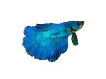 nehmen Sie den beweglichen Moment gefangen, der von blauem Halbmond Siams betta schön ist Stockfotografie