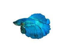 nehmen Sie den beweglichen Moment gefangen, der von blauem Halbmond Siams betta schön ist Lizenzfreie Stockbilder