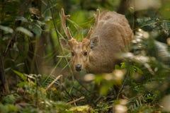 Nehmen Sie Rotwild auf der Wiese von Kaziranga in Assam in Beschlag stockbild