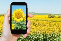 Nehmen von Fotosonnenblume fileld unter blauem Himmel Lizenzfreies Stockfoto