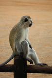 Nehmen von Rest vervet Affen auf dem Zaun Lustiges Foto Kruger-Park Berühmter Kanonkop Weinberg nahe malerischen Bergen am Frühli Stockfotografie