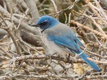 Nei bastoni con l'uccellino azzurro della montagna Fotografie Stock