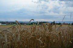 Nei campi della Svizzera matura il grano immagine stock