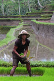 Nei campi di riso Fotografie Stock