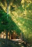 Nei raggi di sole della foresta dell'abete Fotografia Stock