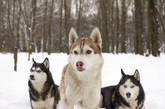 Neige animale fière de loup de chien sauvage d'hiver enroué de neige de trio belle grande Photo libre de droits