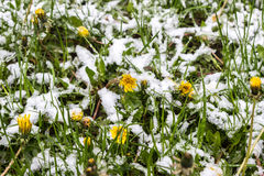 Neige au printemps, pissenlits dans la neige, 11 05 2017 Minsk, Belarus Images stock