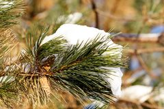 Neige blanche sur la branche verte de pin Photographie stock libre de droits