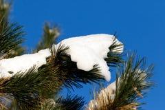 Neige blanche sur le fond vert de ciel bleu de branche de pin Images libres de droits
