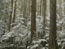 neige couverte de forêt de sapin photo libre de droits