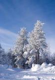 neige couverte de pins photos stock