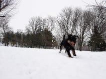 Neige d'amour de chiens aussi Photos libres de droits