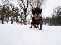 Neige d'amour de chiens aussi Photo stock