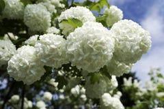 neige de быка цветя Стоковая Фотография