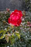 Neige de glace de Rose Images stock