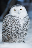 neige de hibou Photos stock